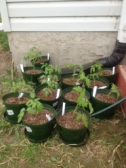 hardening off tomatoes